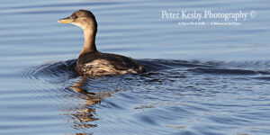 Little Grebe #1