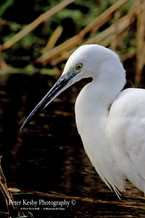 Little Egret #5