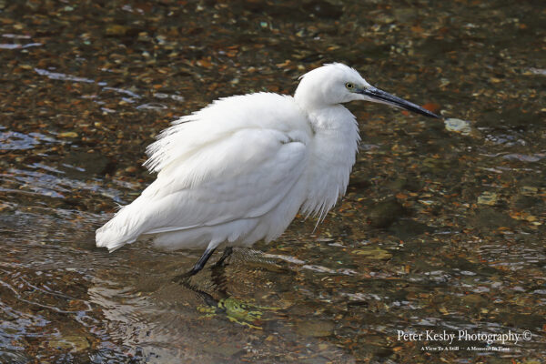 Little Egret #3