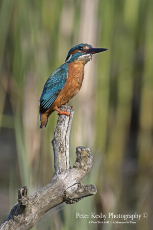 Kingfisher #14