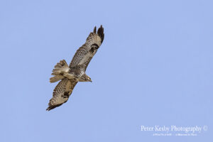 Buzzard In Flight #1