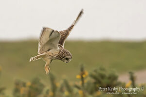 Short Eared Owl In Flight #2