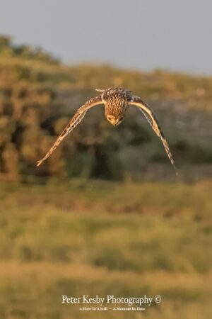 Short Eared Owl In A Dive