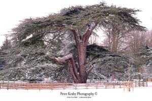 AC011 Kearsney Abbey Cedar Tree Snow