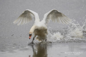 AS087 swan lifting off