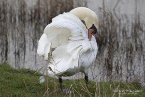 AS129 swan in glory web