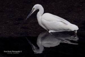 AS141 little egret with reflection