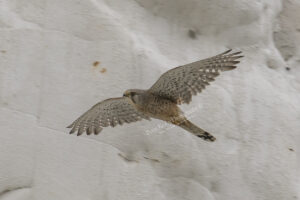 AS174 kestrel in flight kingsdon web