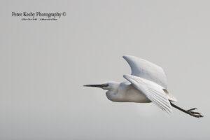 as006 little egret 1