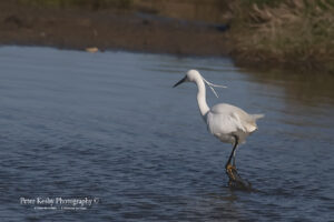 as016 little egret 2