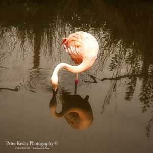 as052 flamingo