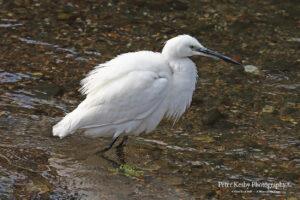 as059 little egret 3