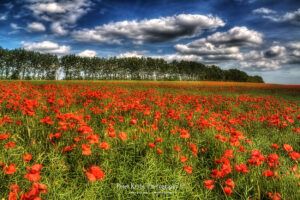 BA004 poppies bridge all red