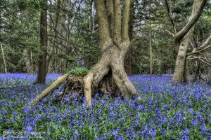 BA012 blubells kingswood foot of tree