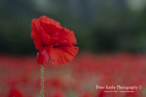 BA017 single poppy all colour