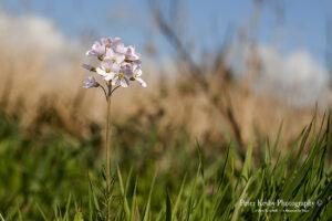 BO013 cuckoo flower