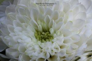 BO017 close up of white flower