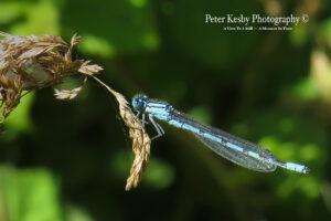 BP003 dragonfly-1