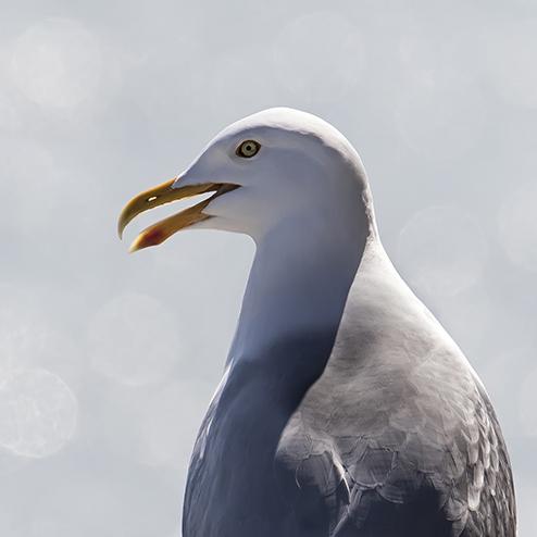 Gulls, Pigeons & Fulmars