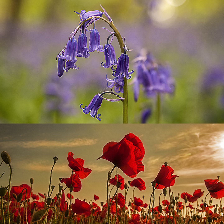 Poppies, Bluebells, Woodland & Sunflowers